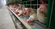 Забастовка помогла! На Оренбургской птицефабрике выплатили зарплату и расследуют уголовное дело